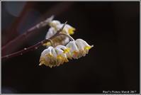 ミツマタの花が咲いた - 野鳥の素顔 <野鳥と・・・他、日々の出来事>