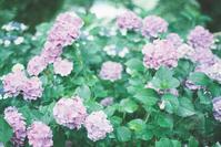 紫陽花 - photomo