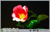 「花たち - 椿・祝の盃(イワイノサカズキ)」 - デジカメ散歩写真