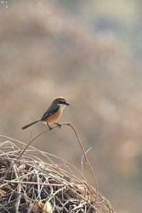 モズのカップル - 野鳥公園