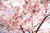 宇都宮の河津桜7  - モノクロポートレート写真館