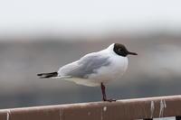 ユリカモメ夏羽 - poiyoの野鳥を探しに