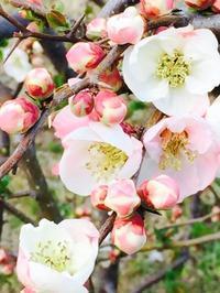 春 - あっこのティアラ日記/ 佐野明子バレエ教室のブログ