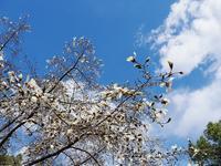 コブシの花 開花の頃 - 光の音色を聞きながら Ⅱ