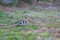 ヤツガシラ2017 その3 - 瑞穂の国の野鳥たち