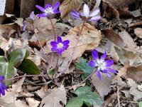 「雪割草」・・・ - 【出逢いの花々】