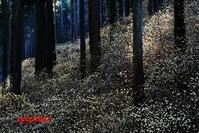 黄色に光る林床(2017年その1) - ジージーライダーの自然彩彩