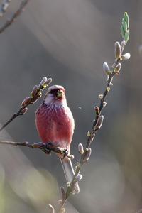 柳の花芽をかじるベニマシコ - 比企丘陵の自然