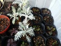 フリマ用の苗たち - natural garden~       shueの庭いじりと日々の覚書き