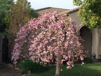 桜が咲いてカメ子の恋バナ - ちょっと田舎暮しCalifornia