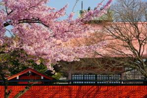 車折神社早咲き桜 - Deep Season