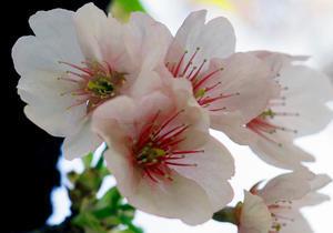 春が近づく新宿御苑(3月22日) - シニアデジカメギャラリー