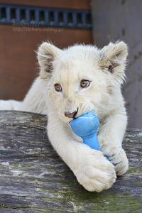 2017.3.20 東北サファリパーク☆ホワイトライオンのセラム君、元気でねの会【White lion】<その4【完】> - 青空に浮かぶ月を眺めながら