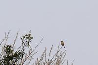 梅に百舌鳥 - 空のむこうに ~自転車徒然 ほんのりと~