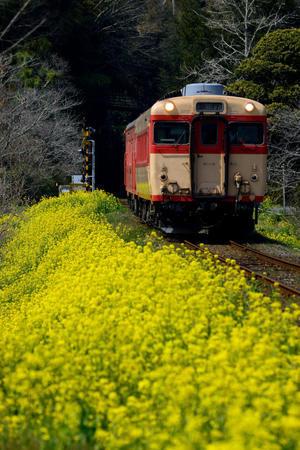 菜の花ラインを行く - 線路沿いの写真館