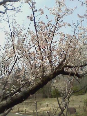 春が来た。 -