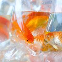 金魚 - Saigon Rambling Blog