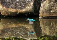 市街地の公園でのカワセミ狙い - スポック艦長のPhoto Diary