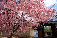 京都の桜2017 長徳寺のおかめ桜 - 花景色-K.W.C. PhotoBlog