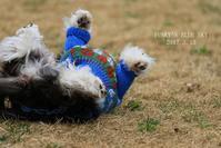ごろごろ~んも また楽し♪ (ドッグランにて・3月13日その3) - FUNKY'S BLUE SKY