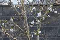 わが家の山桜 - HANA 花♪日記