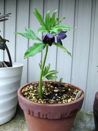原種大好き♪ - リリ子の一坪ガーデン