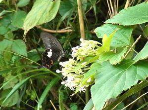 諏訪之瀬島のモンキアゲハ - 虫、とったり、とったり。