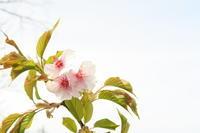 若 桜 - すずめtoめばるtoナマケモノ