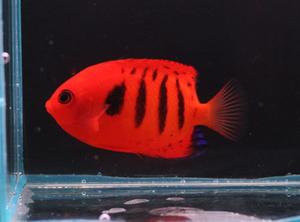 ハワイ&沖縄&マニラ - ビーボックスアクアリウム 海水魚・サンゴ情報