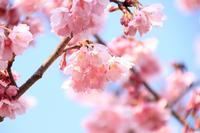 掛川城と掛川桜~2~♪ - happy-cafe*vol.2