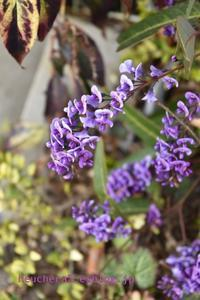 ハーデンベルギアの花が咲いた♪ - 小さな庭 2