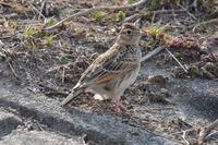 より赤いベニマシコ - 野鳥写真日記 自分用アーカイブズ