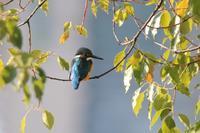 アオバトはやはり美しい - 野鳥写真日記 自分用アーカイブズ