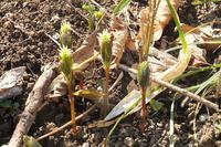 ■ 春の野草  17.3.23   (ヒトリシズカ、ヒメカンスゲ、タチツボスミレ) - 舞岡公園の自然2