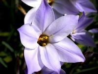 ハナニラ - 村山東の花ブログ