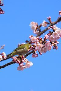 桜メジロ - 野鳥公園