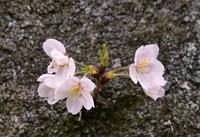 熊野の旅 桜祭り ???も - LUZの熊野古道案内