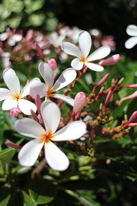 ハワイの花ある風景⑦♪プルメリア - クラシノカタチ