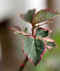 バラの斑入り葉の美しさ - 元木はるみのバラとハーブのある暮らし・Salon de Roses