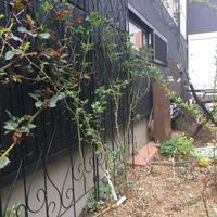 バラの様子 - misaの庭暮らし~Abandon~