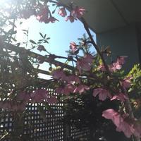 桜が開花しました♫ - Bon! BonVoyage ②