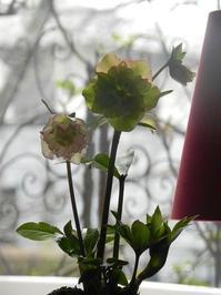 クリスマスローズを植えるレッスン - 心とカラダが元気になるアロマ&ハーブ・ガーデン教室chant rose