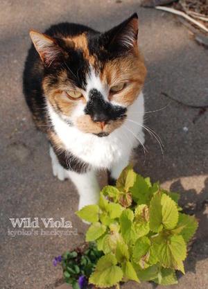 ワイルドビオラよりも枯れ葉 - Kyoko's Backyard ~アメリカで田舎暮らし~