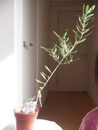 オリーブ苗、購入 - nagameの庭/yarn slave