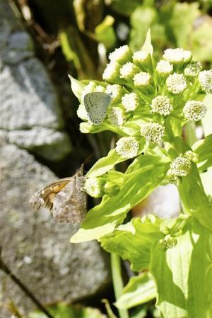 蝶の数が増えて来ました - おらんくの自然満喫
