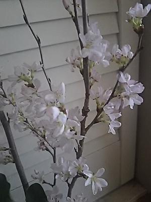 小桜の切花とブルースター - ちゃたろうと気まま日記