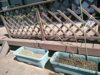 白モッコウ萎れる - うちの庭の備忘録 green's garden