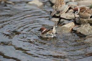 すずめさんもご満悦   野川温泉Ⅱ - シエロの鳥ノート