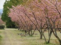 河津桜 - よもやま日記書いてます。