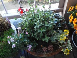 ●すっかり春らしいベランダの植物たち - 太陽と大地のエクボ3